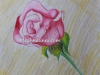 Rose-pencil-colour-by-meghna