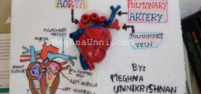 Human Heart  Model: School Biology Project