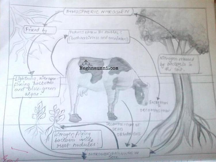 Biology : Nitrogen Fixation Diagram for Std 8