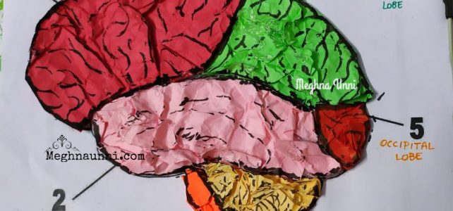 Human Brain Model Using Colour Papers