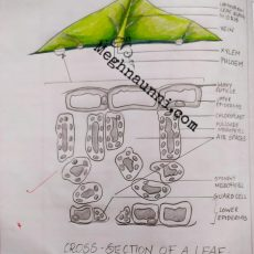 Cross Section of a Leaf | Biology Diagram
