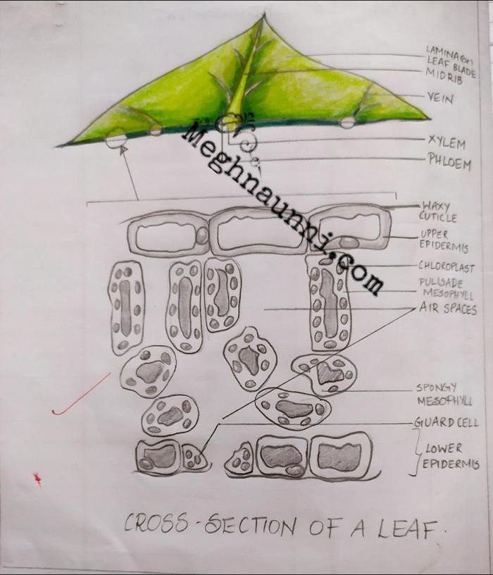 cross section of leaf biology diagram class 10