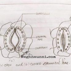 Open & Closed Stomatal Pore Diagram| Biology Class-10 CBSE