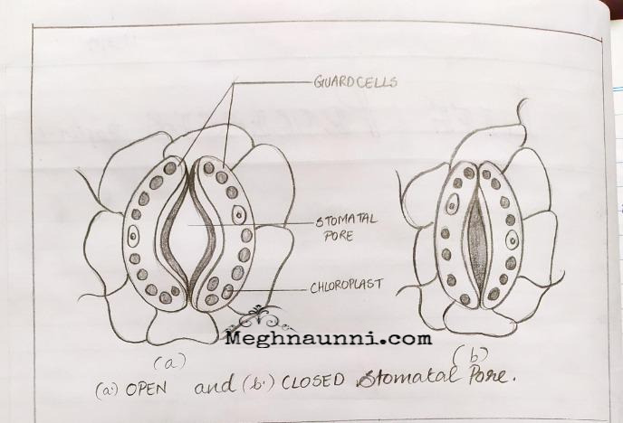 Open & Closed Stomatal Pore Diagram| Biology Class-10 CBSE