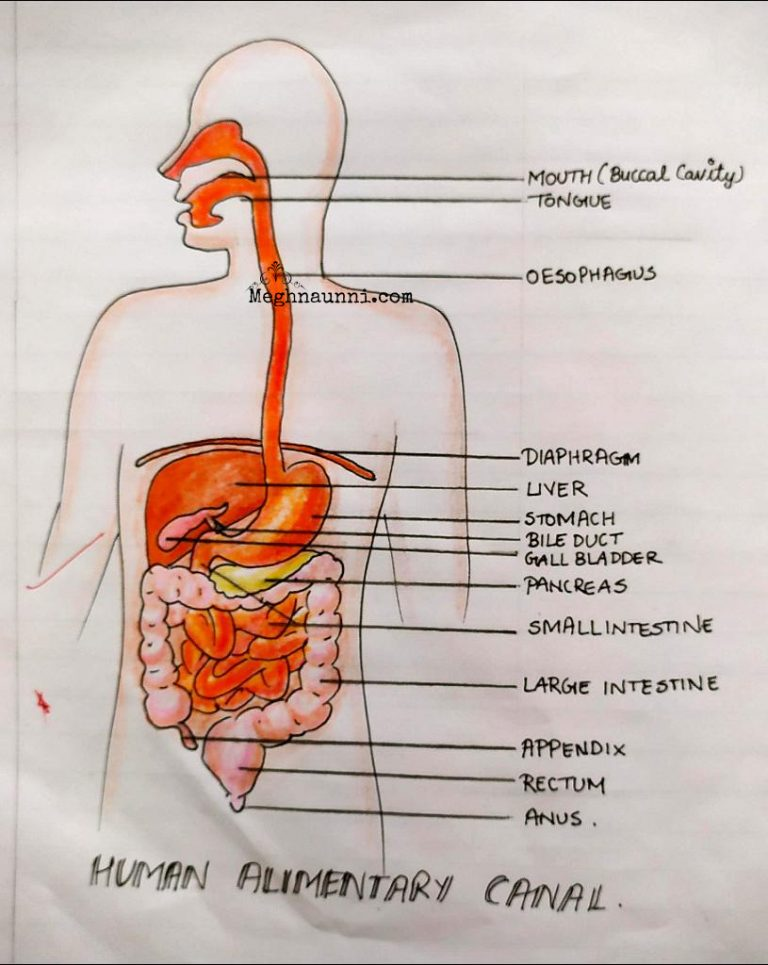 Human Alimentary Canal Biology Diagram for Class 10