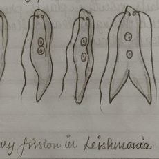 Class 10 Biology Diagram | Binary Fission in Amoeba & Leishmania