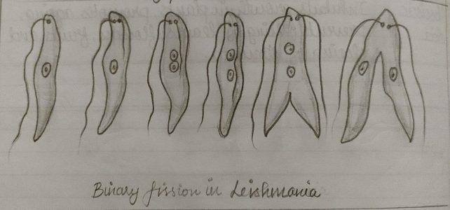 Class 10 Biology Diagram | Binary Fission in Amoeba & Leishmania