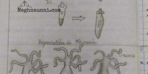 Class 10 Biology Diagrams | Regeneration in Planaria, Budding in Hydra