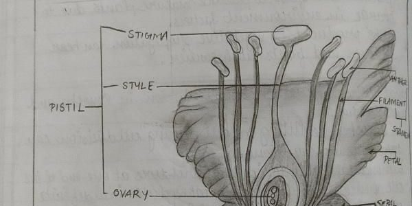Biology Drawings : Longitudinal Section of a Flower