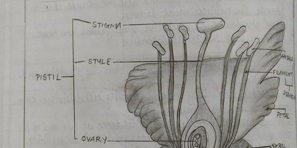 Biology Drawings : Longitudinal Section of a Flower